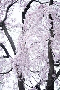 満開の枝垂れ桜の写真素材 [FYI01170666]