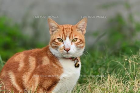 宮古島/団地の飼い猫の写真素材 [FYI01170898]