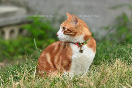 宮古島/団地の飼い猫の写真素材 [FYI01170910]