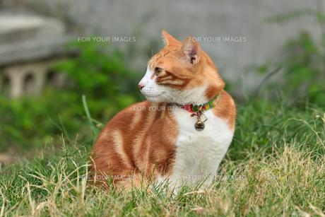 宮古島/団地の飼い猫の写真素材 [FYI01170913]