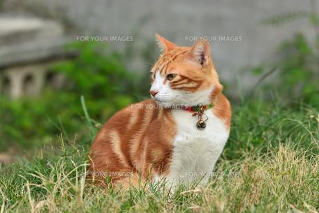 宮古島/団地の飼い猫の写真素材 [FYI01170915]