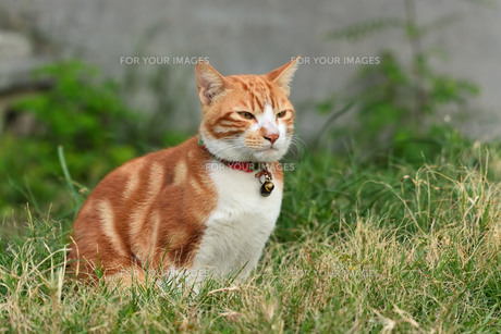 宮古島/団地の飼い猫の写真素材 [FYI01170922]