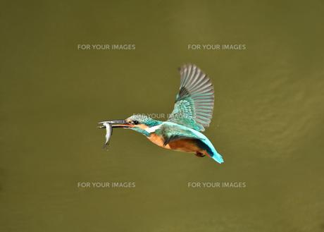 カワセミの捕食の写真素材 [FYI01171038]