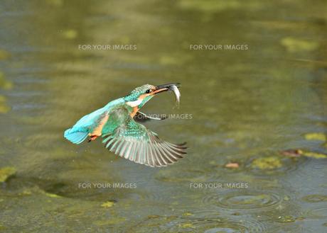 カワセミの捕食の写真素材 [FYI01171039]