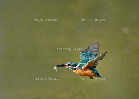 カワセミの捕食の写真素材 [FYI01171041]