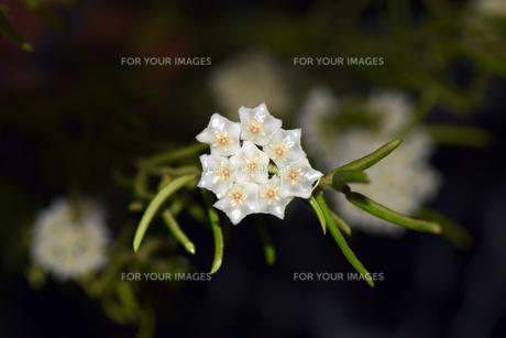 マクロで撮る、名もなき花の写真素材 [FYI01171064]