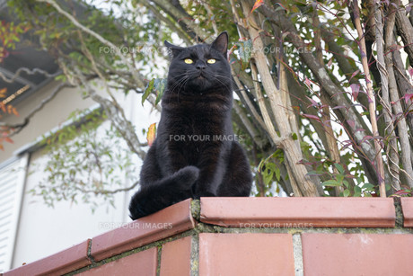 日本の屋外で暮らす猫の写真素材 [FYI01171095]