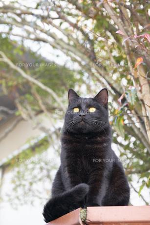 日本の屋外で暮らす猫の写真素材 [FYI01171096]