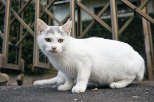 日本の屋外で暮らす子猫の写真素材 [FYI01171100]