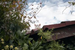 屋根の上の猫の写真素材 [FYI01171109]