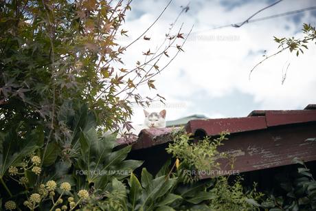 屋根の上の猫の写真素材 [FYI01171110]