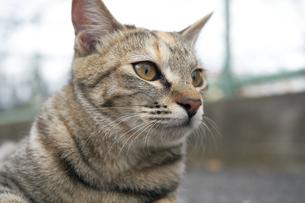 日本の屋外で暮らす猫の写真素材 [FYI01171111]