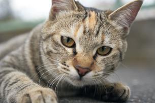 日本の屋外で暮らす猫の写真素材 [FYI01171113]