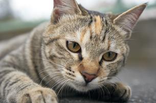 日本の屋外で暮らす猫の写真素材 [FYI01171114]