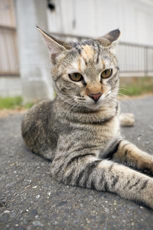 日本の屋外で暮らす猫の写真素材 [FYI01171115]