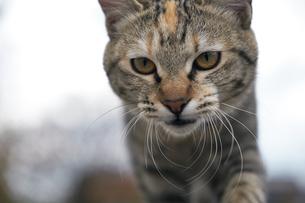 日本の屋外で暮らす猫の写真素材 [FYI01171116]