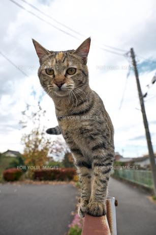 フェンスの上の猫の写真素材 [FYI01171117]
