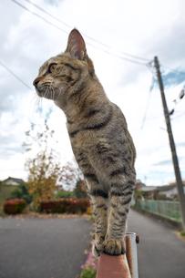フェンスの上の猫の写真素材 [FYI01171118]