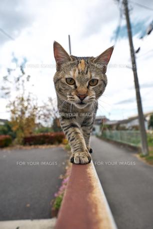 フェンスの上を歩く猫の写真素材 [FYI01171119]
