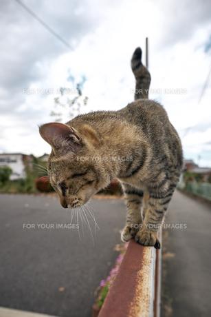 フェンスの上の猫の写真素材 [FYI01171120]