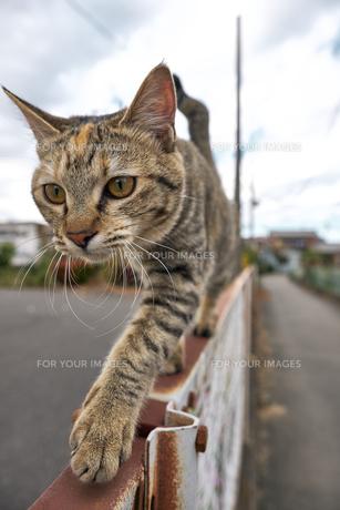 フェンスの上を歩く猫の写真素材 [FYI01171121]