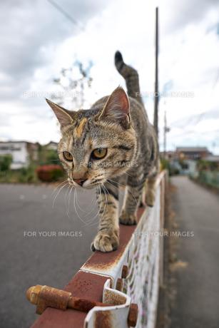フェンスの上を歩く猫の写真素材 [FYI01171122]