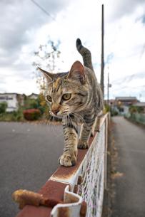 フェンスの上を歩く猫の写真素材 [FYI01171123]