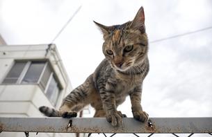 フェンスの上の猫の写真素材 [FYI01171124]