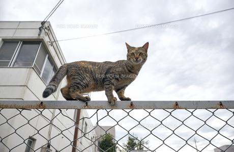 フェンスの上の猫の写真素材 [FYI01171125]