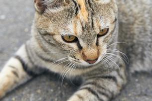 日本の屋外で暮らす猫の写真素材 [FYI01171127]