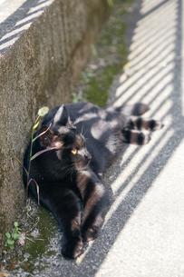日本の屋外で暮らす猫の写真素材 [FYI01171128]
