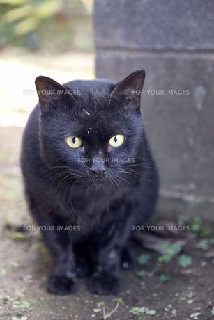 日本の屋外で暮らす猫の写真素材 [FYI01171131]