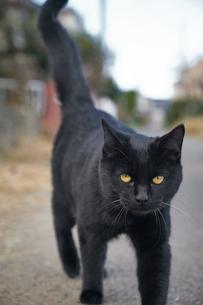 日本の屋外で暮らす黒猫の写真素材 [FYI01171173]