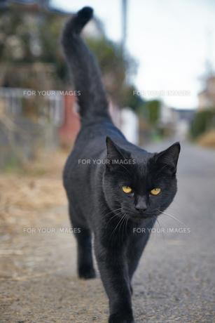 日本の屋外で暮らす黒猫の写真素材 [FYI01171174]