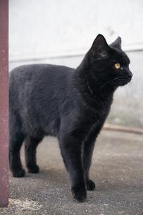 日本の屋外で暮らす黒猫の写真素材 [FYI01171177]