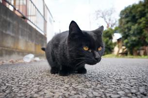日本の屋外で暮らす黒猫の写真素材 [FYI01171178]