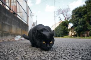 日本の屋外で暮らす黒猫の写真素材 [FYI01171179]
