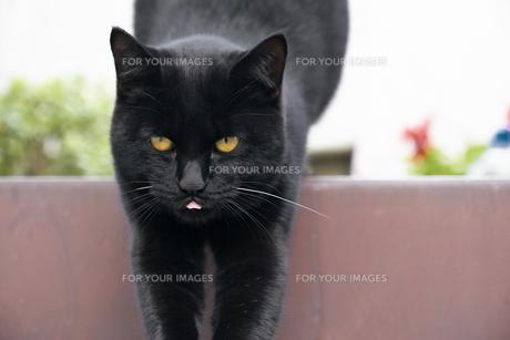 階段で体を伸ばす黒猫の写真素材 [FYI01171180]