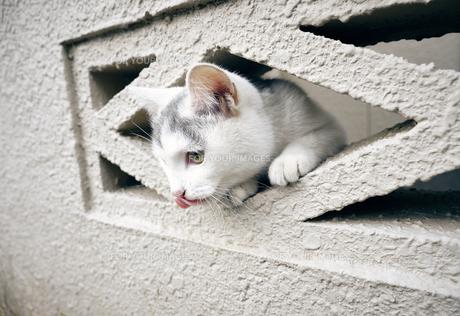 ブロックの隙間から顔を出す子猫の写真素材 [FYI01171184]