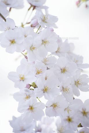 満開の桜の写真素材 [FYI01171240]