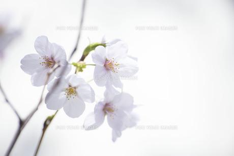 桜の花の写真素材 [FYI01171241]