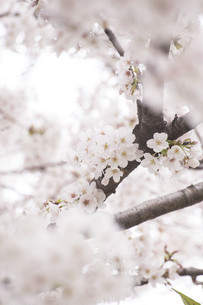 満開の桜の写真素材 [FYI01171242]
