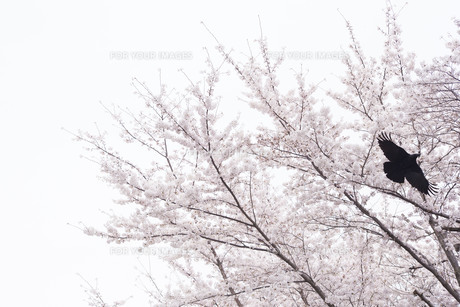 満開の桜とカラスの写真素材 [FYI01171243]