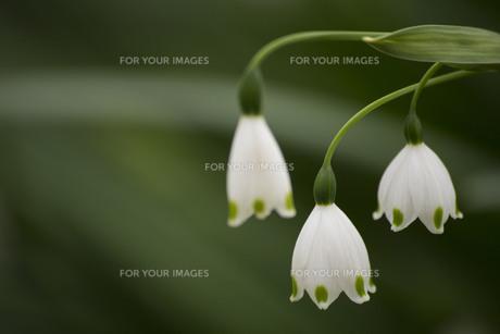 スノードロップの写真素材 [FYI01171245]
