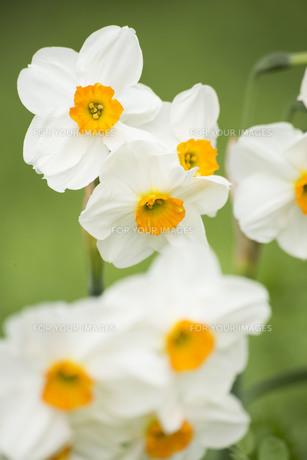 緑の中の水仙の花の写真素材 [FYI01171246]