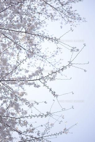 朝日の中の満開の桜の写真素材 [FYI01171247]