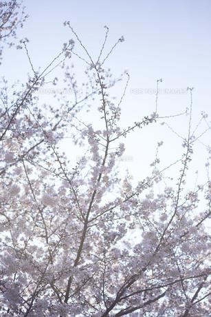 朝日の中の満開の桜の写真素材 [FYI01171248]