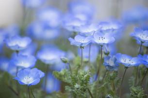 さわやかなブルーのネモフィラの写真素材 [FYI01171249]