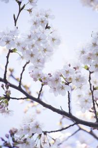白い背景に浮かぶ桜の写真素材 [FYI01171250]