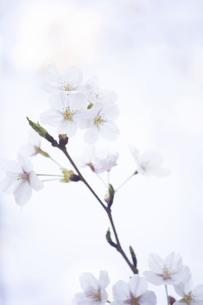 白い背景に浮かぶ桜の写真素材 [FYI01171251]
